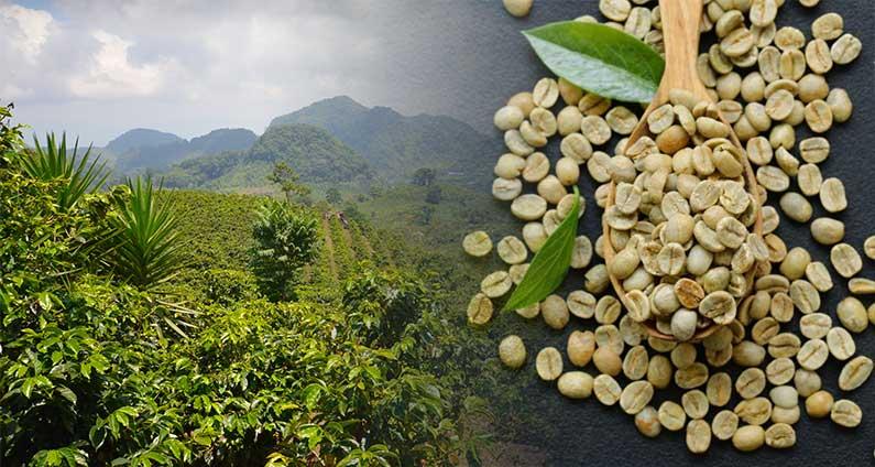 Buy Certified Organic Green Coffee Beans